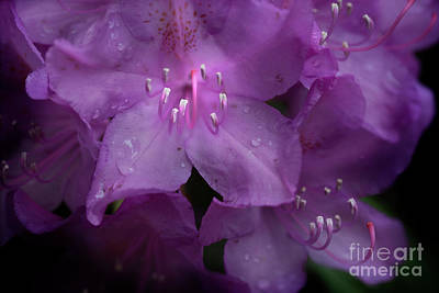 Photograph - Rhododendron Flower Close Up  by Dan Friend