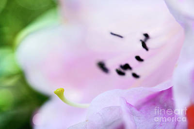 Photograph - Rhododendron Flower  by Terry Elniski