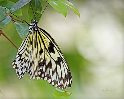 Photograph - Rice Paper Butterfly 1 by Walter Herrit
