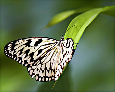 Photograph - Rice Paper Butterfly 5 by Walter Herrit