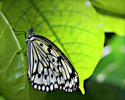 Photograph - Rice Paper Butterfly 6 by Walter Herrit
