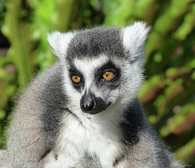 Photograph - Ring-tailed Lemur In Sunlight by Margaret Saheed