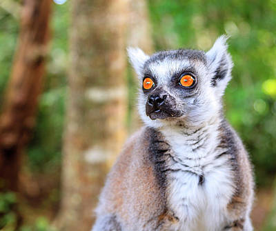 Photograph - Ringtail Lemur by Alexey Stiop