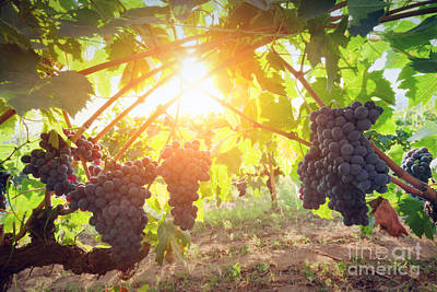 Vine Photograph - Ripe Wine Grapes On Vines In Tuscany, Italy by Michal Bednarek