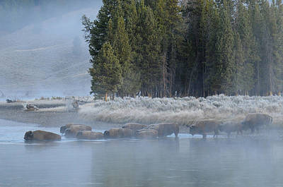 Bison Photograph - River Crossing by Sandy Sisti