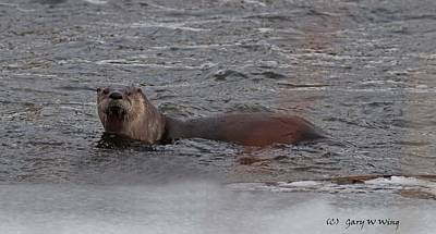 Photograph - River Otter by Gary Wing