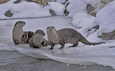 River Photograph - River Otters by Gary Wing