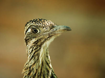 Photograph - Roadrunner 3642 by Tam Ryan