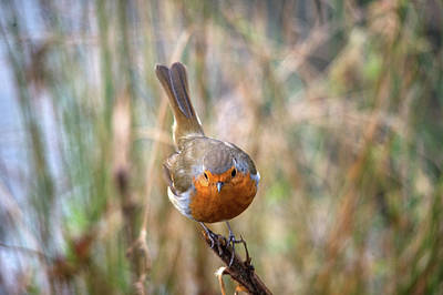 Photograph - Robin by Cliff Norton