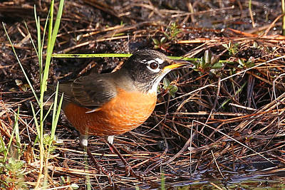 Photograph - Robin by Dart and Suze Humeston