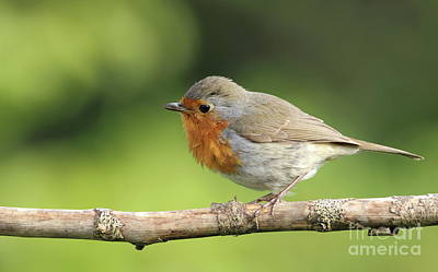 Photograph - Robin by Peter Skelton