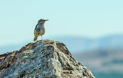 Photograph - Rock Wren 2 by Rick Mosher