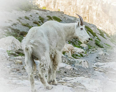 Photograph - Rocky Mountain Goat In Summer by Yeates Photography