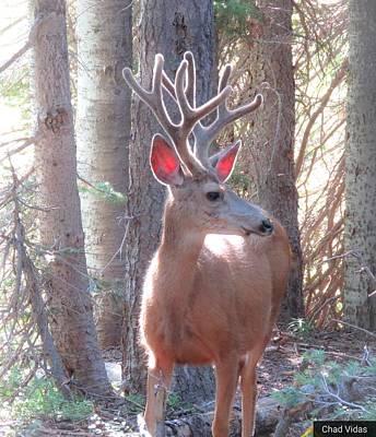 Rocky Mountain Mule Deer Original