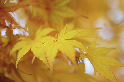Photograph - Romance With Autumn. Japanese Maple Leaves 10 by Jenny Rainbow