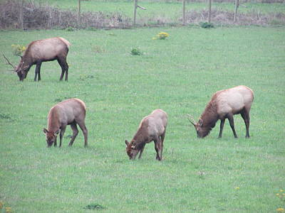 Photograph - Roosevelt Elk by Marilyn Diaz