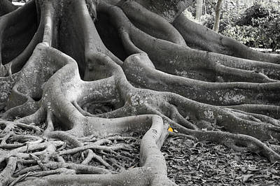 Photograph - Roots Three by Susan Molnar