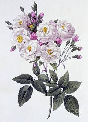 Botanical Drawing - Rosa Noisettiana by Pierre Joseph Redoute