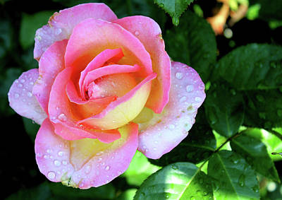Photograph - Rose-5 by Anand Swaroop Manchiraju