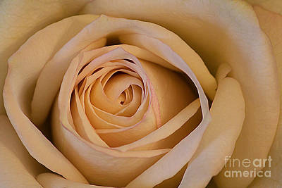 Photograph - Rose by LR Photography