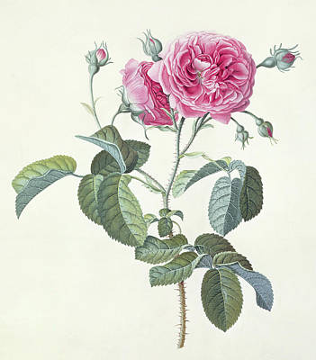 Pink Flower Drawing - Rose  Dutch Hundred-leaved Rose by Georg Dionysius Ehret