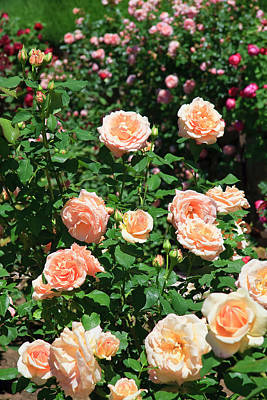Photograph - Rose Garden by Jill Lang