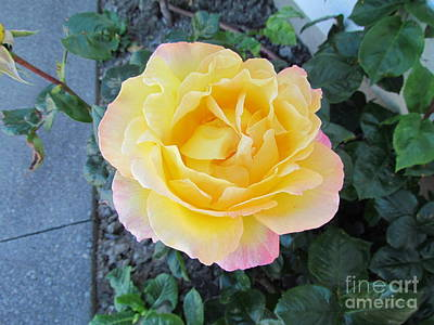Photograph - Rose by Joyce Woodhouse