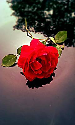Photograph - Rose  by Kevin D Davis
