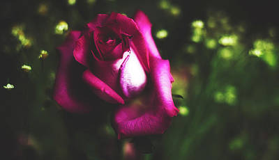 Photograph - Rose by Pixabay