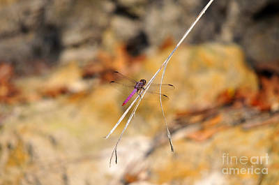 Art Print featuring the photograph Fuchsia Fly by Al Powell Photography USA