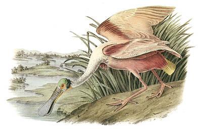 Shorebird Painting - Roseate Spoonbill by John James Audubon
