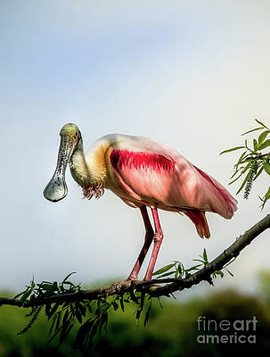 Photograph - Roseate Spoonbill On Limb by Robert Frederick