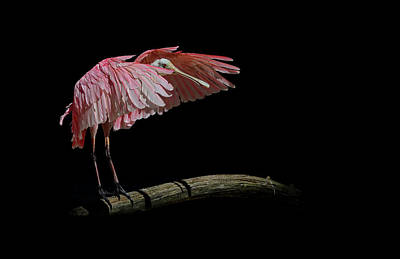 Photograph -  Roseate Spoonbill by Stuart Harrison