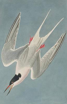 Seagull Drawing - Roseate Tern by John James Audubon