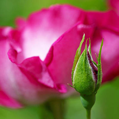 Bright Pink Photograph - Budding Rose by Rona Black