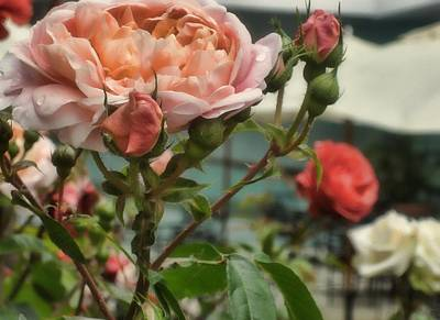 Photograph - Roses Everywhere by JAMART Photography