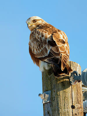 Hawk Photograph - Rough-legged Hawk Perch by Mike Dawson