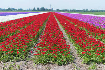 Photograph - Rows Of Blooming Flowers by Hans Engbers