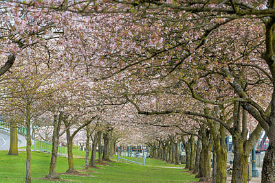 Photograph - Rows Of Cherry Blossom Trees In Spring by Jit Lim