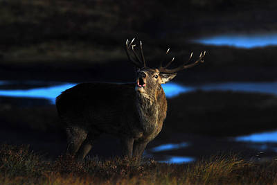 Photograph - Royal Stag by Gavin MacRae