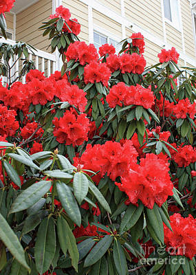 Photograph - Ruby Red Rhododendron by Carol Groenen