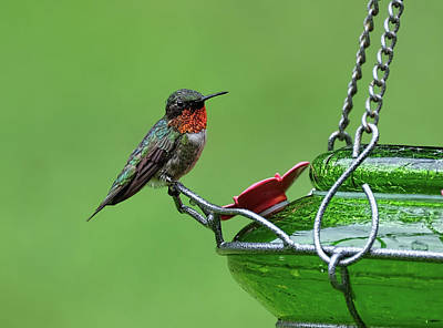 Photograph - Ruby-throated Hummer by Ronda Ryan