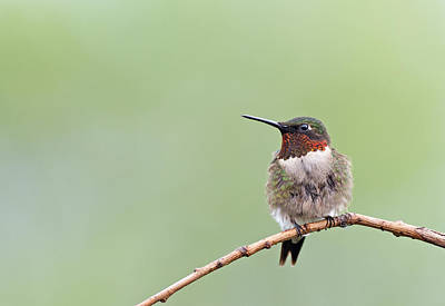 Photograph - Ruby-throated Hummingbird by Jim Zablotny