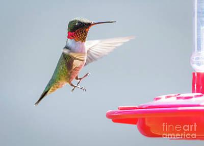 Ruby-throated Hummingbird  Art Print by Ricky L Jones