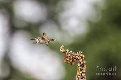 Photograph - Rufous Ready To Fly  by Ruth Jolly