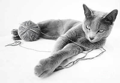 White Background Photograph - Russian Blue by Nailia Schwarz
