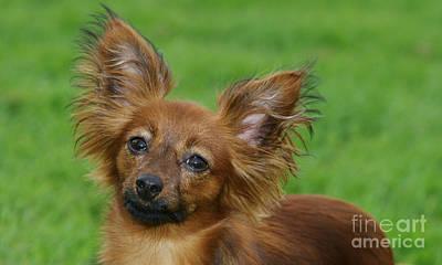 Toy Terrier Photograph - Russkiy Toy Dog by Brinkmann/Okapia