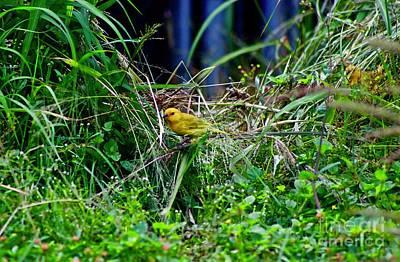 Photograph - Saffron Finch by Craig Wood