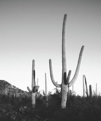 Photograph - Saguaro Cactus  by Library Of Congress