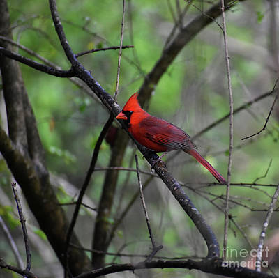 Cardinals. Wildlife. Nature Photograph - Saint Louis by Skip Willits